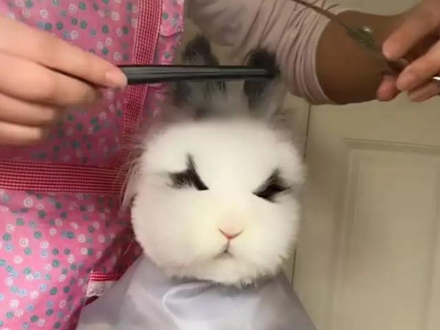 【少女菋の大青柚】带着兔子去宠物店理发,剪着剪着发现不对劲,看清后笑哭了