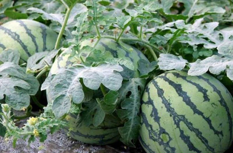 【暮烟疏雨之际】买的西瓜不甜?记住老果农的技巧,一挑一个准