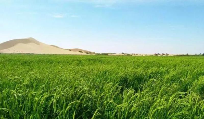 沙漠里也能种出大米?以米治沙,让沙漠变绿洲