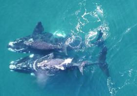 【我叫叶良辰】无人机可为鲸称体重,拍摄清晰画面,可轻松获它们身体质量数据