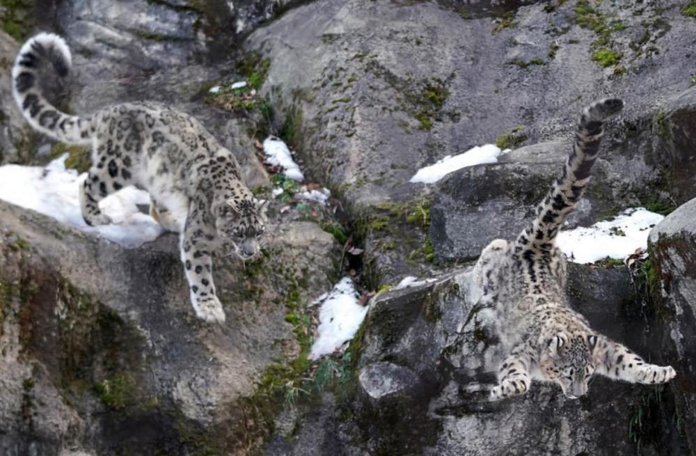 四季雪豹,拥有神一样的颜值,爱上那条粗粗壮壮的大尾巴,撸猫吧