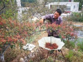 莱芜小山村,农村老伯摘花椒,400棵花椒树需要摘一个月