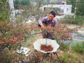 【醉眼望云烟】莱芜小山村,农村老伯摘花椒,400棵花椒树需要摘一个月
