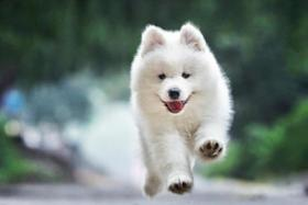 全球10大高颜值的狗狗,萨摩耶居榜首,博美排第二,你养了吗?