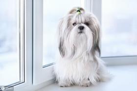 【蠢萌小棉袄】原产中国的五种出名的狗狗,你还了解哪些原产中国的狗狗?