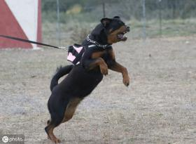 世界上最凶悍的五种狗,战斗力都爆表