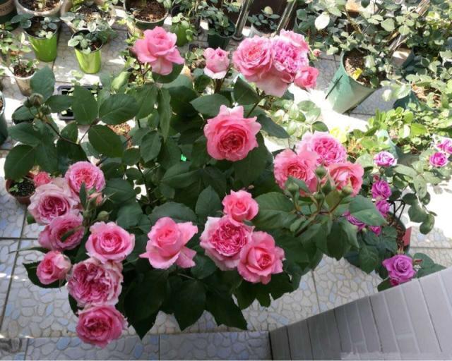适合新手养的盆栽月季,好养易活,周年开花,花色美丽,值得入手