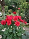 【岸与海的距离】适合新手养的盆栽月季,好养易活,周年开花,花色美丽,值得入手