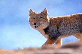 【想当龙的猫】青藏线遇藏狐,一张大方脸,占旱獭窝不说,常跟在棕熊屁股后捡漏