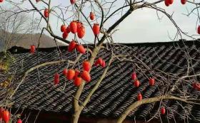 【抹茶味的百奇】白河野柿子经过100天的精心制作,那美味的零食3年不坏,流口水了