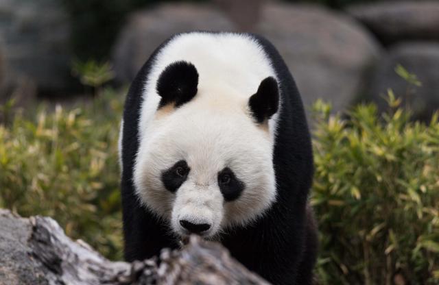 """中国大熊猫""""网网""""和""""福妮""""将继续在澳居住5年"""