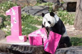 """【伊人回眸泪倾城】中国大熊猫""""网网""""和""""福妮""""将继续在澳居住5年"""