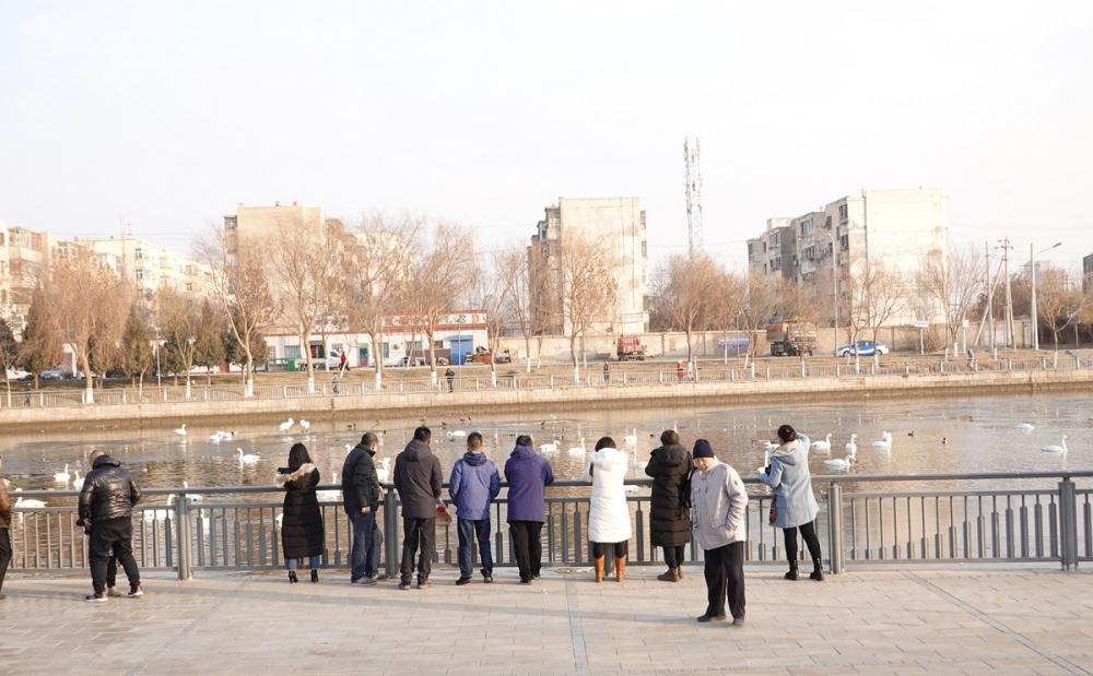 上千只天鹅在新疆库尔勒过冬,杜鹃河里全是天鹅,简直太漂亮了