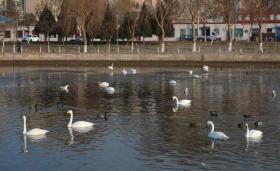 【羞答答的玫瑰】上千只天鹅在新疆库尔勒过冬,杜鹃河里全是天鹅,简直太漂亮了